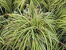 Portal Cool 1 Pflanze: Carex Evergold 1Ltr Strauch