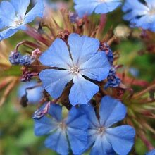 Portal Cool 1 Pflanze: Ceratostigma griffithii