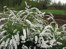 Portal Cool 1 Pflanze: Spiraea Snowmound 1Ltr