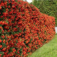Portal Cool 1 X Pyracantha 'Red