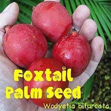 Portal Cool 10 Foxtail Palme Wodyetia bifurcata