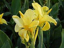 Portal Cool 10 Samen Gelbe Canna Indica Lily Blume