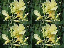 Portal Cool 10 Samen Hellgelb Canna Indica Lily