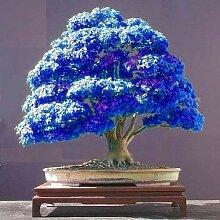 Portal Cool 10 Stück Violett Blau Bonsai Samen