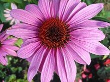 Portal Cool 100 Bio-Sonnenhut Echinacea-Samen