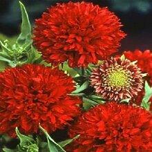 Portal Cool 100 Gaillardia Seeds Red Plume Garten