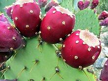 Portal Cool 1000 Samen: Opuntia Littoralis -