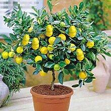 Portal Cool 10X Zitronenbaum Samen Erbstück