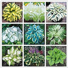 Portal Cool 13: 100 PC/Beutel Hosta Pflanzen