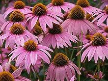 Portal Cool 1500 Samen Blumen Echinacea