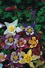 Portal Cool 1750 Samen Blumen Akelei Mac Kana im