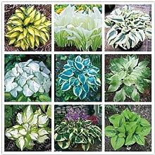 Portal Cool 18: 100 PC/Beutel Hosta Pflanzen
