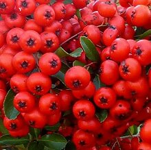 Portal Cool 1X Pyracantha Red Säule Pflanze -