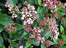Portal Cool 1X Viburnum Tinus Eve Preis Pflanze -