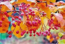 Portal Cool 20 Korean Eberesche Seeds - Sorbus