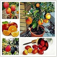 Portal Cool 20 Samen Seltene Rote Zitrone Samen
