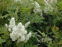 Portal Cool 3 Pflanzen: Sorbaria sorbifolia