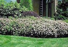 Portal Cool 3 Pflanzen: Spiraea Shirobana 1Ltr