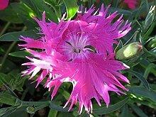 Portal Cool 30 + Dianthus Superbus Rose Carnation