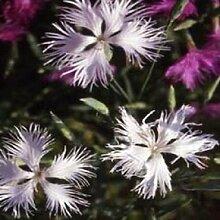 Portal Cool 30 + Dianthus Superbus weiße