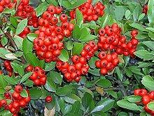 Portal Cool 30 Samen - Scarlet Feuerdorn