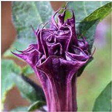 Portal Cool 30 Samen von Datura Einzel Lila,