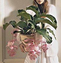 Portal Cool 30Pcs Medinilla Magnifica Samen Blumen