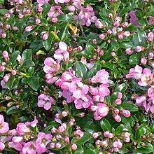 Portal Cool 3X Escallonia Pflanze Apfelblüte