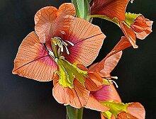 Portal Cool 5 X Gladiole Alatus Seeds Gladiole