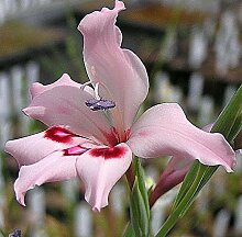 Portal Cool 5 X Gladiole Crispulatus Seeds
