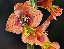 Portal Cool 5 X Gladiole Seeds Gladiole Lillie - -