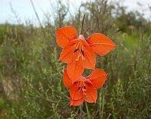 Portal Cool 5 X Gladiole Teretifolius Seeds