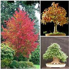 Portal Cool 50 Samen Dreispitz-Ahorn Maple Trident