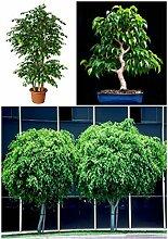 Portal Cool 50 Samen Ficus Beniamina, Bonsai Samen