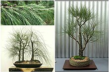 Portal Cool 50 Samen Ficus macrophylla, Eiche