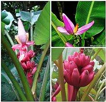 Portal Cool 50 Samen Musa velutina Rosa oder Banane