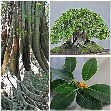Portal Cool 50 Samen von Ficus Obliqua, Bonsai