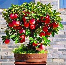 Portal Cool 50Pcs Seeds 3 Art Frucht Bonsai-Baum