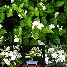 Portal Cool 7: 10 Stücke Weißer Jasmin Samen
