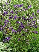 Portal Cool Aconitum Hen. 'Sparks Variety'