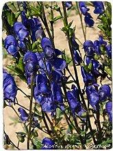 Portal Cool Aconitum plicatum 'Eisenhut'