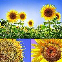 Portal Cool BDED Pacg Sonnennsamen ntopfn Garten