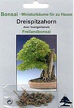 Portal Cool Bonsai - 30 Samen von Dreispitz-Ahorn,