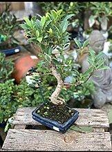 Portal Cool Bonsai Ficus * mit Topf