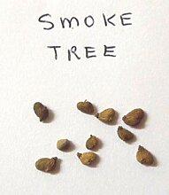 Portal Cool Bonsai oder Garten Smoke Tree, 10 Samen