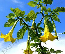 Portal Cool Brugmansia Sanguinea Aurea Goldene