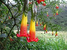 Portal Cool Brugmansia Sanguinea/Red
