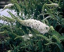 Portal Cool Buddleia White Bouquet