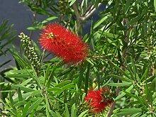 Portal Cool Callistemon Rigidus Clemson Hardy Red