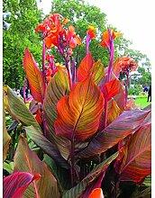 Portal Cool Canna Tropic Indian Aufnahme Pflanze